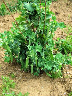 Καλλιέργεια αρακά